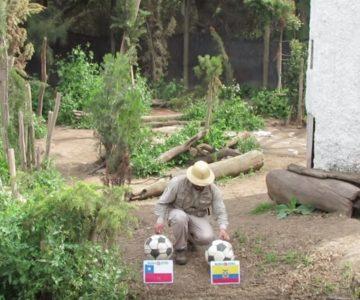 Lobo del Buin Zoo dio su predicción para el partido Chile – Ecuador