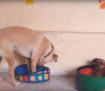Perrito intenta acostarse en una pequeña cama y se vuelve viral