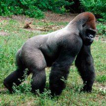 """El gorila que impactó por """"evolucionar"""" como humano en cosa de minutos"""