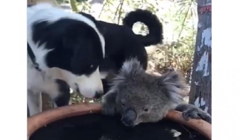 Koala Perro